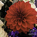 Softly Red by Arlene Carmel