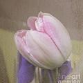 Softly Tulip by Arlene Carmel