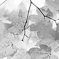 Softness Of Maple Leaves Monochrome by Jennie Marie Schell