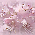 Softness Of Pink Pastel Azalea Flowers by Jennie Marie Schell