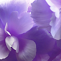 Softness Of Purple Begonias by Jennie Marie Schell
