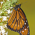 Soldier Butterfly Danaus Eresimus by Millard H. Sharp