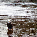 Solitary Eagle by Eleanor Abramson