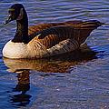 Solitary Goose by Bobbee Rickard
