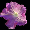 Solitary Pink Petunia by Jean Noren