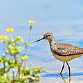 Solitary Sandpiper by Melinda Fawver