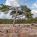 Solitary Tree Amidst Field Of Boulders by John Stephens