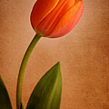 Solitary Tulip by David and Carol Kelly