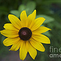 Solo Black-eye Susan by Luther Fine Art