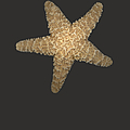 Solo Starfish I by Suzanne Gaff