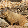 Something Is Interesting To The Yellow Bellied Marmot Rocky Mountain National Park by Fred Stearns