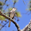 Song Bird by Kay Lovingood
