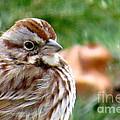 Song Sparrow by Brenda Ketch