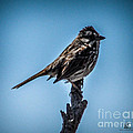 Song Sparrow On Top Of Branch by Ronald Grogan