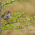 Song Sparrow Pictures 111 by World Wildlife Photography