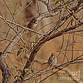 Song Sparrows by Donna Brown