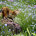 Sonoma In The Wildflowers by Adele Buttolph