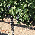 Sonoma Vineyards In August In The Sonoma California Wine Country 5d24487 by Wingsdomain Art and Photography