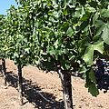 Sonoma Vineyards In The Sonoma California Wine Country 5d24491 by Wingsdomain Art and Photography