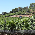 Sonoma Vineyards In The Sonoma California Wine Country 5d24503 by Wingsdomain Art and Photography