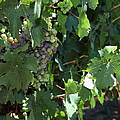 Sonoma Vineyards In The Sonoma California Wine Country 5d24510 Vertical by Wingsdomain Art and Photography