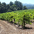 Sonoma Vineyards In The Sonoma California Wine Country 5d24512 by Wingsdomain Art and Photography