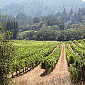 Sonoma Vineyards In The Sonoma California Wine Country 5d24515 by Wingsdomain Art and Photography