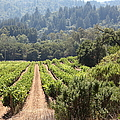 Sonoma Vineyards In The Sonoma California Wine Country 5d24518 by Wingsdomain Art and Photography