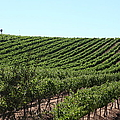 Sonoma Vineyards In The Sonoma California Wine Country 5d24588 by Wingsdomain Art and Photography