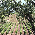 Sonoma Vineyards In The Sonoma California Wine Country 5d24619 Square by Wingsdomain Art and Photography