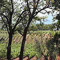 Sonoma Vineyards In The Sonoma California Wine Country 5d24622 by Wingsdomain Art and Photography