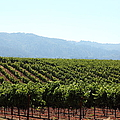 Sonoma Vineyards In The Sonoma California Wine Country 5d24623 by Wingsdomain Art and Photography