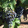 Sonoma Vineyards In The Sonoma California Wine Country 5d24630 Square by Wingsdomain Art and Photography