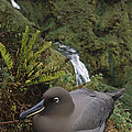 Sooty Albatross Nesting On Cliff Edge by Tui De Roy