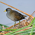 Sora Rail by Anthony Mercieca