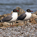Mr. And Mrs. Laughing Gull  by Geoff Crego