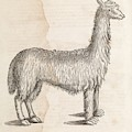 South American Camelid by Middle Temple Library