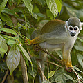 South American Squirrel Monkey Amazonia by Pete Oxford