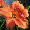 South Seas Daylily by MTBobbins Photography