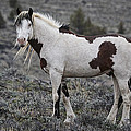 South Steens Wild Stallion by Wes and Dotty Weber