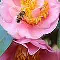 Southern Bee by Carol Groenen