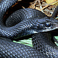 Southern Black Racer Coluber Priapus by Millard H. Sharp