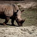 Southern Black Rhino by Douglas Barnard