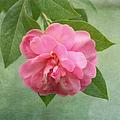 Southern Camellia Flower by Kim Hojnacki