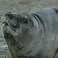 Southern Elephant Seal by Amanda Stadther