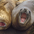 Southern Elephant Seal Pair Calling by Konrad Wothe