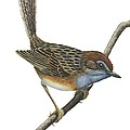 Southern Emu Wren by Anonymous