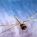 Southern Hawker Dragonfly  by Michael Durham