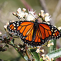 Southern Monarch Butterfly by James Brunker