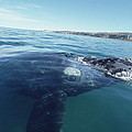 Southern Right Whale At Surface by Flip Nicklin
